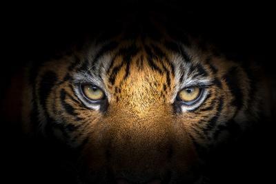 Emberevő tigrisek