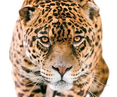 Jaguárok nyomában
