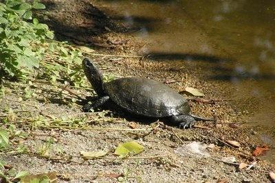 Tüskevár teknősei